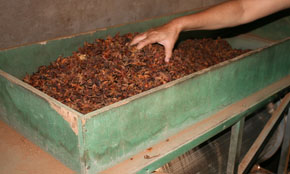 Star Anise Processing